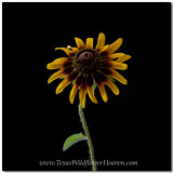 Texas Wildflowers - Sunflower 5