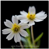Texas Wildflowers - Blackfoot Daisy 2