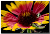 Texas Wildflowers - Indian Blanket Portrait