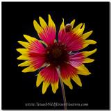 Texas Wildflowers - Ladybug on an Indian Blanket