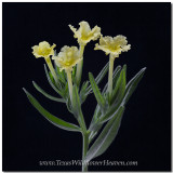Texas Wildflowers - Fringed Puccoon 1
