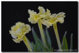 Texas Wildflowers - Fringed Puccoon 2