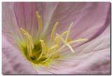 Texas Wildflowers -Showy Primrose 3