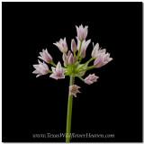 Texas Wildflowers - Wild Onion