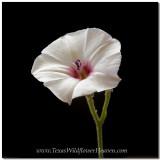 Texas Wildflowers - Bindweed