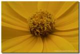 Texas Wildflowers - Coreopsis macro