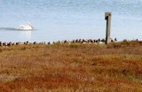 White Pelicans of Bodega Bay