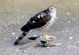 Cooper's Hawk and Bathtime