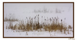 Cat tails in Snow1.jpg