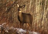 Mule Deer113.jpg