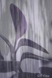 Curtained Leaves.jpg