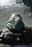 Frog on a rock.jpg