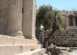 Erechtheion Sacred Olive Tree
