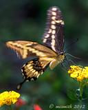 Swallowtail and Lantana