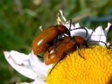Leaf Beetles (Family Chrysomelidae)