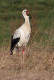 White stork (ciconia ciconia), Grancy, Switzerland, January 2013