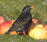 Common starling (sturnus vulgaris), Echandens, Switzerland, February 2013