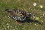 Common starling (sturnus vulgaris), Echandens, Switzerland, February 2013