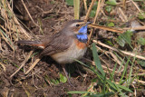 White-spotted bluethroat (luscinia svecica), Chavornay, Switzerland, March 2013