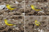 Yellow wagtail (motacilla flava flavissima), Vullierens, Switzerland, April 2013