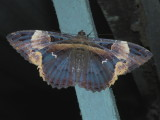 Other moths from Suriname