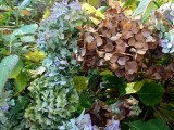 Faded and browning hydrangeas