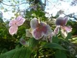 Hydrangea in Clyne Gardens