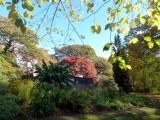 Splendid acer in Clyne Gardens