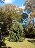 Unusual conifer in Clyne Gardens