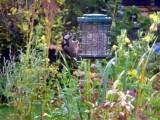 Rare sighting of a woodpecker feeding in our garden