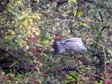 Wood pigeons contort themselves for hawthorn berries