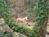 A pretty Crynant pony