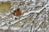 Zieba zwyczjana,Fringilla coelebs, Chaffinch