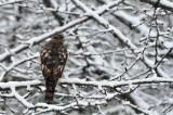 Myszolow zwyczajny,  (Buteo buteo),Common Buzzard