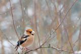 Grobodziob zwyczajny,(Coccothraustes coccothraustes) ,Hawfinch