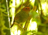 Rufous-headed Pygmy-Tyrant