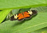 Butterfly Silanche