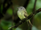 Greenish Elaenia