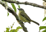 Gray-crowned Flycatcher