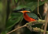 Green-and-rufous Kingfisher