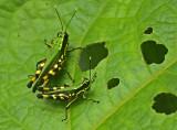 Grasshopper-Wildsumaco.jpg