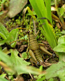 Grasshopper-Wildsumaco2.jpg