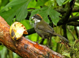Chestnut-capped Brush-Finch