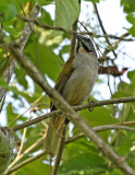 Buff-throated Saltator