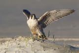 Slechtvalk - Peregrine Falcon