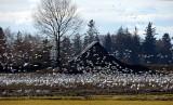 Snow Geese of Skagit County Washington
