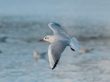 9397 Black Headed Gull LL 181112.jpg