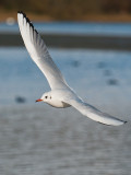 9421 Black Headed Gull LL 181112.jpg