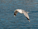 9462 Black Headed Gull LL 181112.jpg
