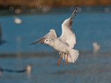 9513 Black Headed Gull LL 181112.jpg